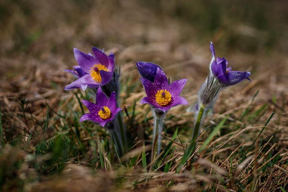 pasque-flower-2894155_960_720