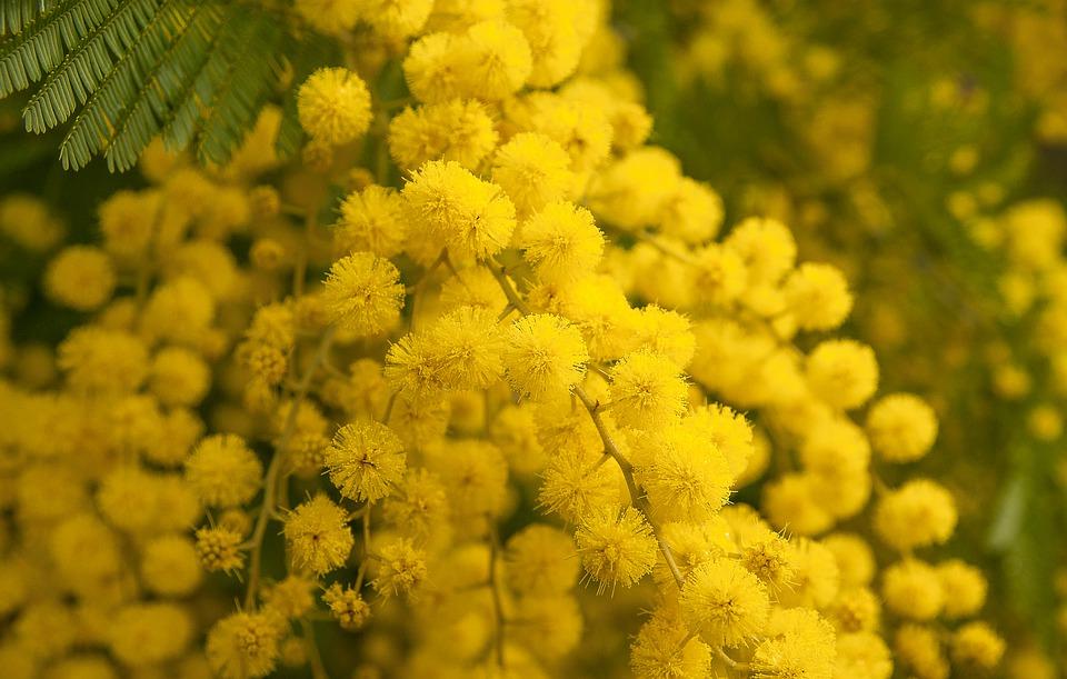 https://pixabay.com/photos/flower-mimosa-spring-provence-3123134/